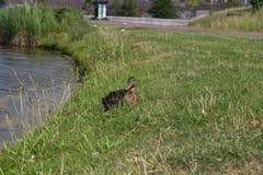 Canard sur le rivage de lac Image libre de droits