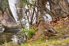 Canard sur le rivage du lac Image stock