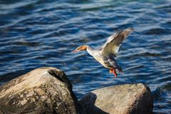 Canard sur le rivage pierreux Photos libres de droits
