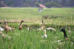 Canard sur Paddy Field dans Bali Indonésie Image stock