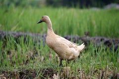 Canard sur Paddy Field dans Bali Indonésie Images libres de droits