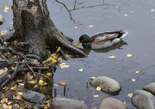 Canard sur un étang près d'un bouleau avec des pierres photos libres de droits