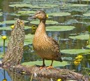 Canard sur un arbre Photos stock
