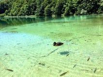 Canard sur un lac Images stock