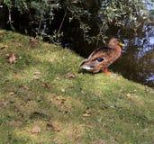 Canard sur un rivage de lac Photographie stock