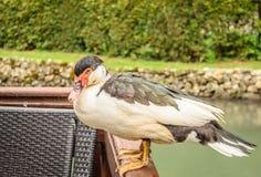 Canard sur une barrière en bois Photo stock
