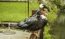 Canard sur une barrière en bois Photos libres de droits