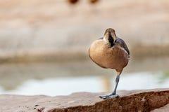 Canard sur une patte Photographie stock