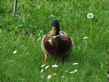 Canard sur une promenade Images libres de droits