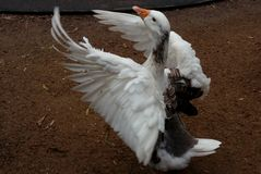 Canard très beau dans l'Australie Photo stock