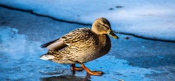 Canard un jour froid d'hivers Photographie stock libre de droits