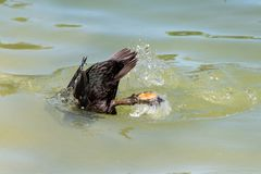Canard utilisant les pieds palm?s ? plonger au-dessous de la surface de l'eau photographie stock