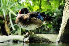 canard vermeil Photos libres de droits