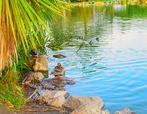 Canard vibrant de couleurs dans un étang photo libre de droits