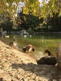 Canards à l'étang Image stock