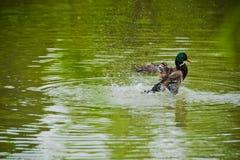 Canards à voler image stock