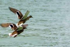 canards Photographie stock libre de droits
