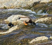 Canards Photo libre de droits