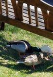 2 canards Photo libre de droits