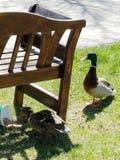 2 canards Images libres de droits