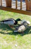 2 canards Photo stock