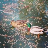 Canards photo stock
