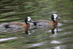 Canards Photographie stock
