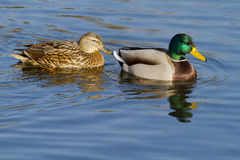 Canards Photos stock