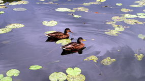 Canards images stock