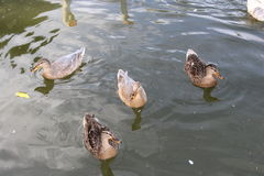 Canards Images libres de droits