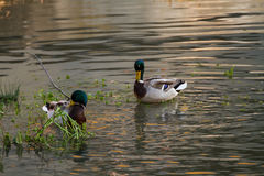 Canards photos libres de droits