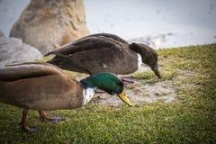 Canards alimentant au bord d'un étang Photos libres de droits