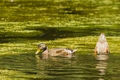 Canards alimentant dans l'étang Image stock
