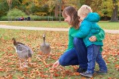 Canards alimentants de famille Images stock