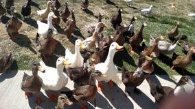 Canards attentifs Photo stock