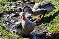 Canards au bain Photographie stock