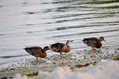 Canards au bord de baies au lever de soleil Photo stock