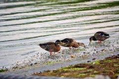 Canards au bord de baies au lever de soleil Image libre de droits