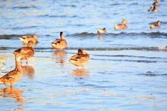 Canards au bord de baies au lever de soleil Images stock