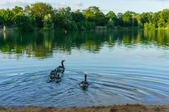 Canards au lac dans Niederneberg Images libres de droits