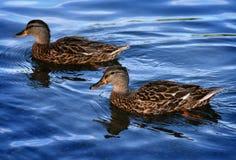 Canards au parc d'état de Minnewaska Image libre de droits