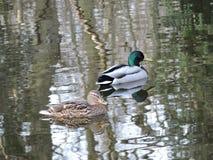 Canards avec l'étang d'ondulation de l'eau Images stock