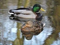 Canards avec l'étang d'ondulation de l'eau Photographie stock libre de droits