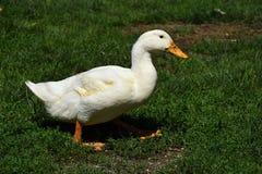 Canards blancs à une ferme Images libres de droits