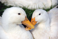 Canards blancs Photographie stock