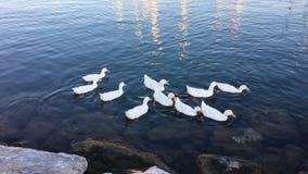Canards blancs dans l'eau banque de vidéos