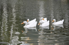 Canards blancs dans la formation Photos stock