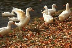 Canards blancs nageant dans le lac Photo libre de droits