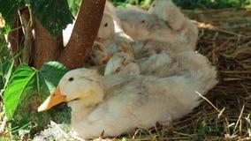 Canards blancs se reposant sur la pelouse d'herbe dans l'ombre banque de vidéos