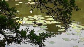 Canards. Canard sur un lac au milieu des nénuphars sous les branches d`un arbre Royalty Free Stock Image